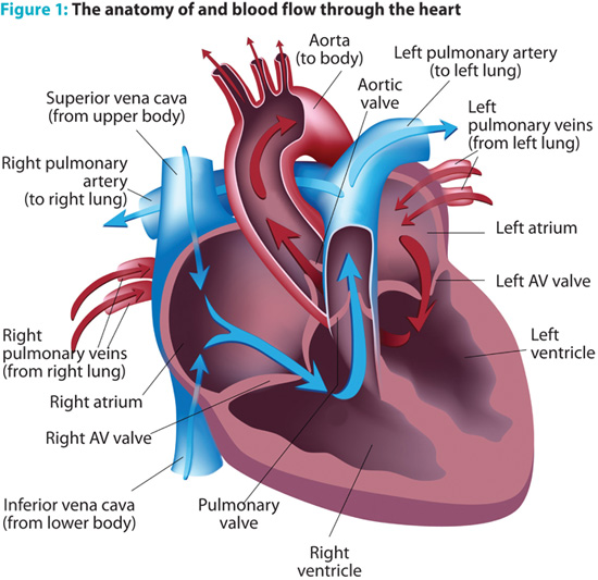 Cardiac emergency care and treatment: Anatomy of blood flow through the heart.