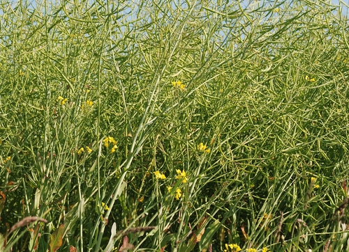Flying on Woody Biomass and Camelina: Consortium Seeks Biofuel Answers